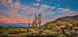 Pink Sunrise I - Mighty saguaros are featured in a Sonoran desert sunrise panoramic landscape.  The Arizona cloudy skies make a dramatic presentation.