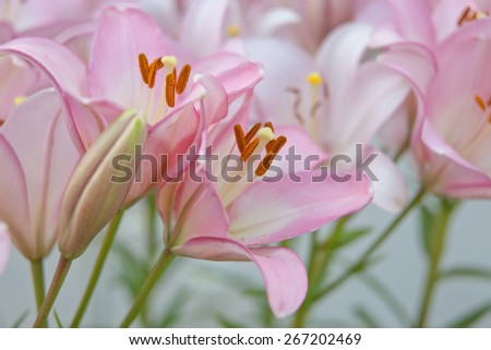Pink Surprise Lilies with Green Leaves in the Background