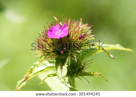 Pink sweet william flower in close in summer home garden with green background