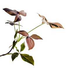 Pink Syngonium podophyllum leaves, Pink arrowhead shaped foliage, Arrowhead Ivy isolated on white background, with clipping path