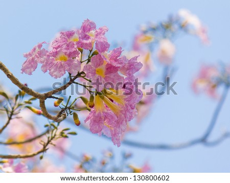 Pink tabebuia flowers blooming