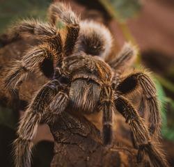 Pink tarantula with orange background. Tarantula legs and hair. Spider eyes and chelicers, arachnid. Eight-legged arthropod