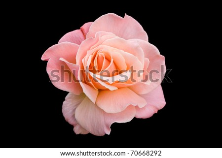 Pink tea rose isolated on a black background