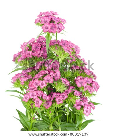 Pink terry european  carnation  flowers bush on bed isolated - stock photo