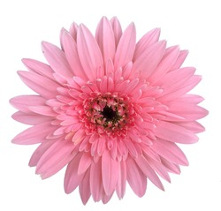 Pink Transvaal daisy or Gerbera Flower isolated on white background.