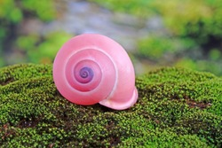 Pink tree snails (Calocochlia festiva) beautiful snails from Luzon island, Philippines, endangered species , rare and protected