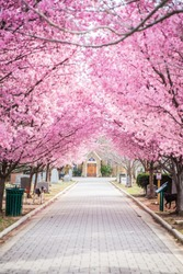 Pink trees along pathway