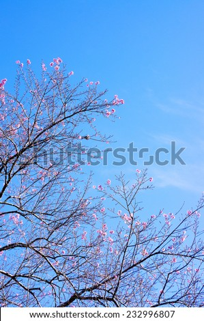 Pink trees in bloom. Spring apricot blossoms. Art Background , Branch with pink blossoms ,wallpaper. apricot-tree flowers. Da Lat, Vietnam.