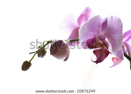 pink tropical orchid flower