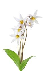 Pink Trout lily Erythronium Americanum Wild flower plant