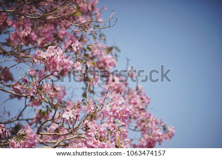 Free photos pink trumpet flowers with blue sky background avopix pink trumpet flowers tabebuia rosea and branches with blue sky in kasetsart university at mightylinksfo