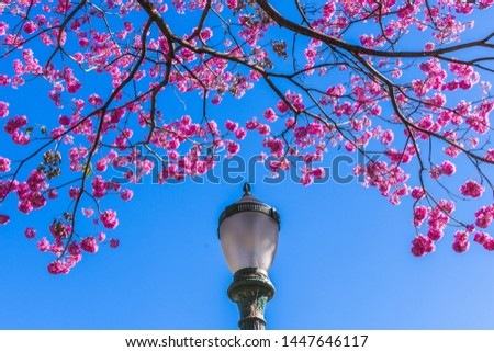 Pink Trumpet Tree against a Blue Sky Background - Winter in Belo Horizonte, Minas Gerais State, Brazil
