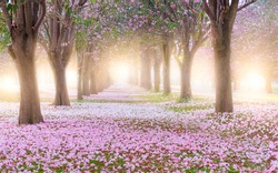 Pink trumpet tree and flowers blossom and falling at the garden tunnel on morning with sunlight.
