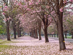 Pink trumpet tree blooming in valentine's day like sweet dream