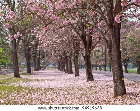 Pink trumpet tree blooming in valentine\'s day like sweet dream
