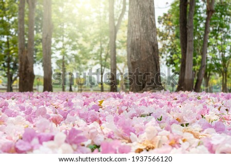 Pink trumpet tree flower blooming on morning with sunlight and have falling on ground like carpet , romantic tunnel pink flower for lover. Foto stock ©