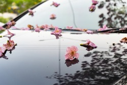 Pink trumpet tree flower falling on a car windshield