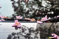 Pink trumpet tree flower falling on a car windshield and hood