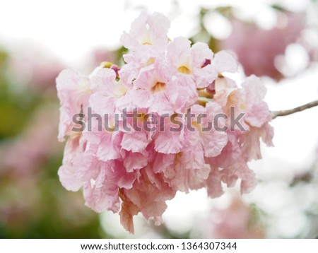Pink trumpet tree is a flower with light pink to medium white, yellow flowers.  Into a bunch of bunches at the end of the branch  Has a scientific name: Tabebuia rosea #1364307344