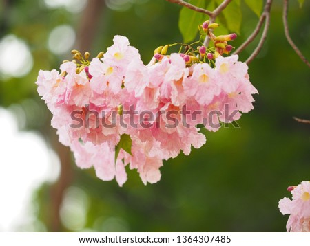 Pink trumpet tree is a flower with light pink to medium white, yellow flowers.  Into a bunch of bunches at the end of the branch  Has a scientific name: Tabebuia rosea #1364307485
