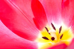Pink tulip close up. Pistil and stamens. Cute pink tulips, spring pink flowers.
