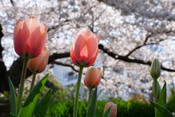 Pink tulip flowers and cherry blossoms are blooming at flowers garden park in Japan. March and April in Spring.