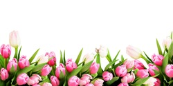 Pink tulip flowers border isolated on white background