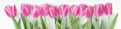 Pink tulip flowers border isolated on white background. Flat lay. Top view