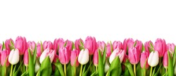 Pink tulip flowers border isolated on white background. Flat lay. Top view.