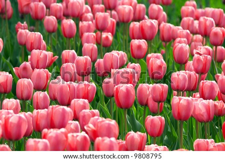 Pink tulip flowers field