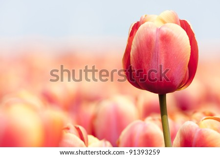 Pink tulip photographed with a selective focus and a shallow depth of field
