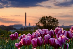 Pink Tulips at sunrise with Blurred Washington DC skyline in background, summer in Washington DC