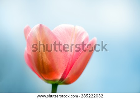 Pink tulips close-up against the blue sky, shallow DOF, with fog. #285222032