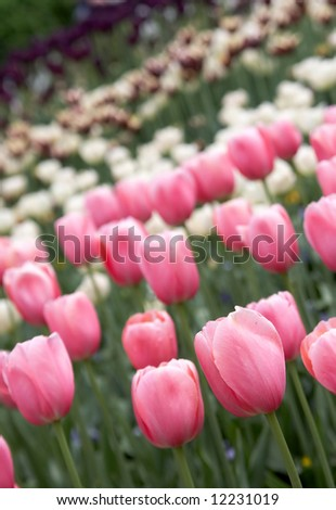 Pink tulips close up on a background of a lawn of tulips
