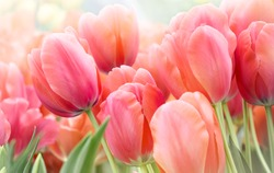 Pink tulips in pastel coral tints at blurry background, closeup. Fresh spring flowers in the garden with soft sunlight for your horizontal floral poster, wallpaper or holidays card.