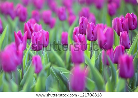 pink tulips with small dof