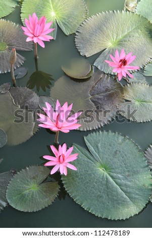 Pink water lilies flowers with green leaves background