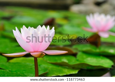 Pink water lilies in a pond