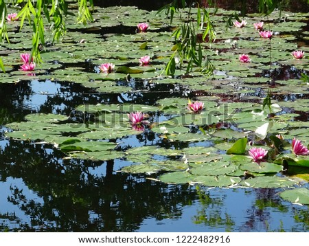 pink water lilies in the pond of Claude Monet's gardens in Giverny during sunny spring day, Normandy, France, Europe