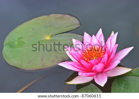 pink water lilly in the pool and leaf