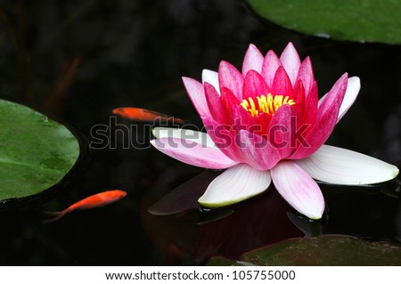 Pink Water Lily and Gold Fish