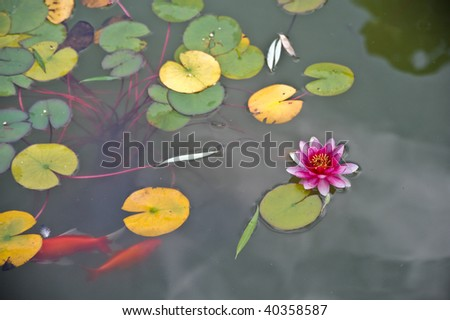 Pink water lily and goldfish