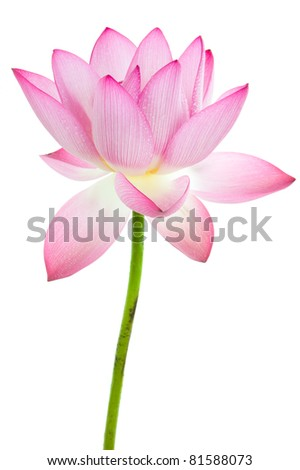 Pink Water Lily Flower Lotus And White Background The Lotus