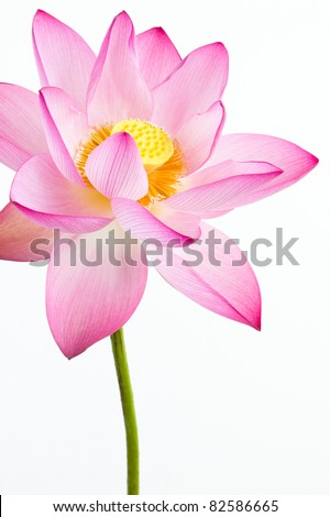 Pink water lily flower lotus and white background the lotus pink water lily flower lotus and white background the lotus flower water mightylinksfo