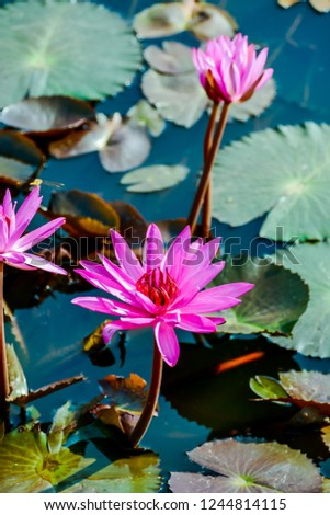 pink water lily in pond, digital photo picture as a background