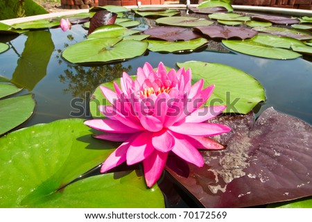 Pink water lily in the well