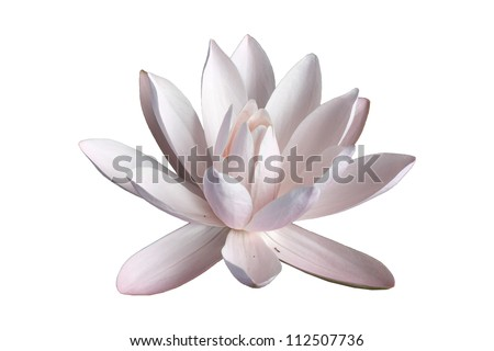 pink water lily in white isolated