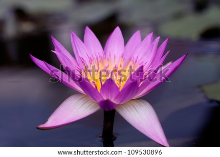 Pink Water lily/ Lotus, close up