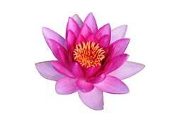 Pink water lily on a background of green leaves and water surface