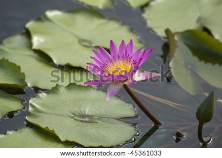 stock-photo-pink-water-lily-on-the-water-45361033.jpg
